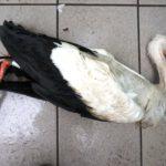 Das Schicksal unseres Elsässer-Storches