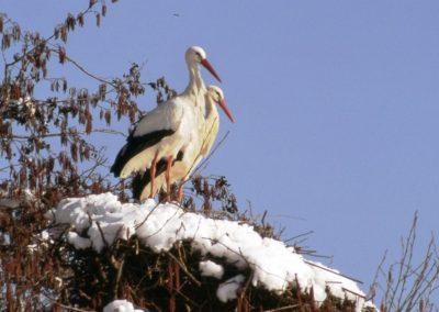 storchenpaar im verschneiten horst