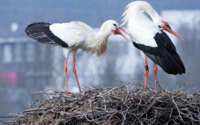 Schiersteiner Storchenparadies schon früh aus der Winterruhe erwacht