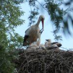 Storchen-Kinderstube Ende Mai 2021